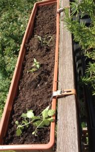Neupflanzung